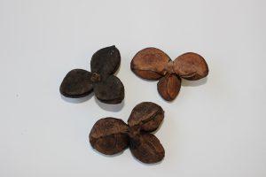 ヤブツバキの果皮の写真