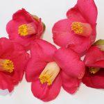 ヤブツバキで遊ぶ。おままごと用「椿の花の静岡おでん」と「椿笛」