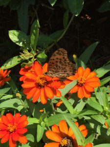 庭のヒャクニチソウにとまるツマグロヒョウモンの写真