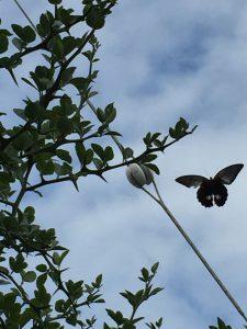 庭のカラタチの木のまわりを舞うナガサキアゲハの写真