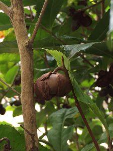実がついたチャの木の写真