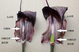 ウラシマソウの雄花と雌花の写真