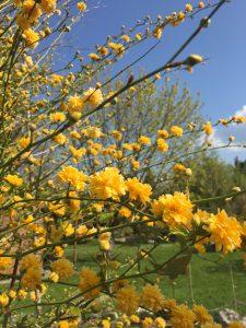 ジュネーブの植物園のヤマブキ(Kerria japonica)の写真
