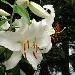 ありえない質感!美しすぎる白い花、私の庭の四大美女