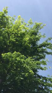 ケヤキを吹き抜ける薫風の写真
