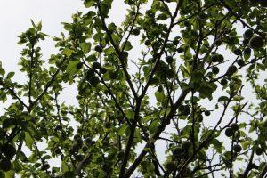 4月下旬の梅の木の写真