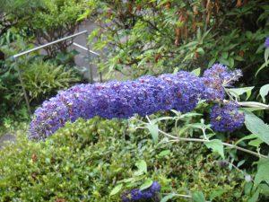 ブッドレアの花の写真