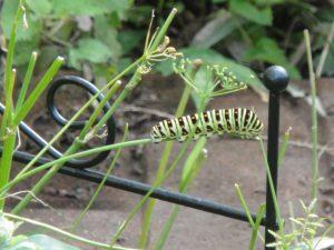 セリ科の庭で生活するキアゲハの幼虫の写真