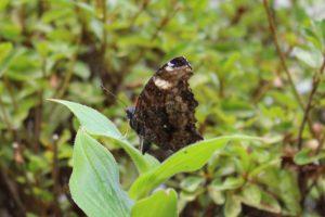 庭に来たルリタテハが翅を閉じているところの写真