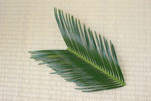 ソテツの葉を準備する写真