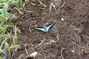 庭に来たアオスジアゲハの写真