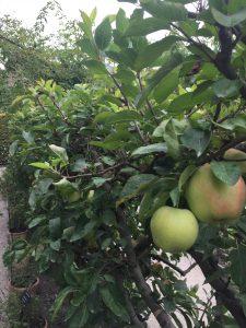 リンゴの棚の写真