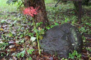 庭の彼岸花と御石様の写真