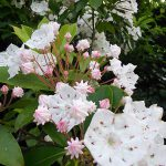 カルミアの花の写真
