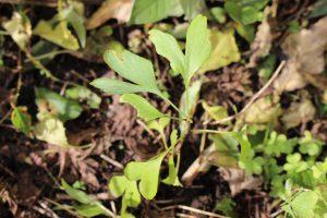 ぎんなんの芽の写真
