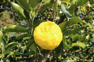 庭の柚子の実の写真