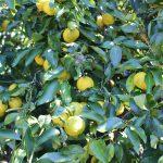 庭の柚子を収穫し、冬至に柚子湯に入る