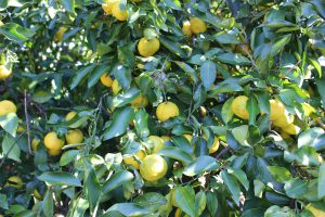 庭の柚子の木の写真