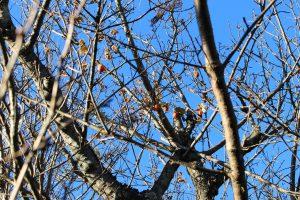 桜の木にからみつくカラスウリの写真