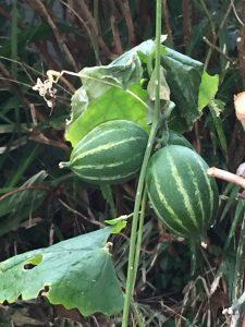 緑色のカラスウリの果実の写真