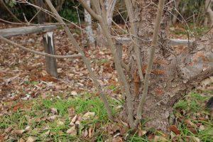 落葉樹のひこばえ