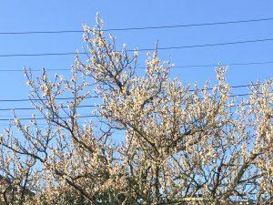 白梅の花の写真