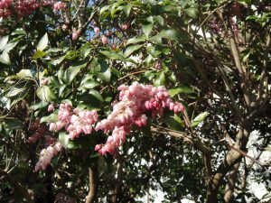 馬酔木の花の写真