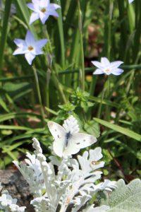 初蝶の写真