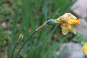 ラッパスイセンの花がら摘みの写真