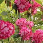 シャクナゲが咲きました!『千と千尋の神隠し』の庭には程遠いですが十分きれいです