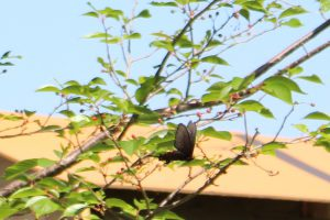 アゲハチョウ科のチョウの写真