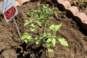 ミニトマトの苗の写真