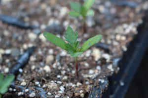 マリーゴールドの苗の写真