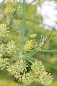 フェンネルとキアゲハの幼虫の写真