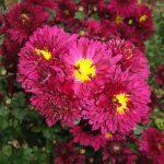 寒菊の写真