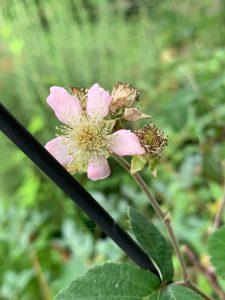 ブラックベリーの花の写真