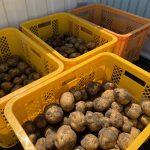 ジャガイモを収穫