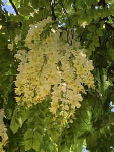 シャワーツリーの花