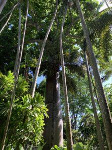 クイポツリーとヤシの木