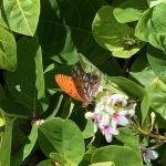 ハワイの蝶ーヒョウモンドクチョウとオオカバマダラ