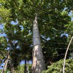 ハワイのフォスター植物園のクイポツリー