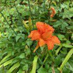 ヤブカンゾウが咲き始めました