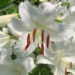 今年はカサブランカの花が咲くのが遅い