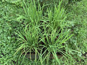 バケツ稲の写真