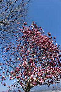 3月のモクレンの花