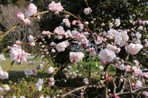源平枝垂れ桃の花