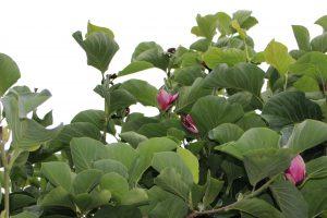 7月のモクレンの花