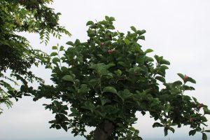 7月のモクレンの木