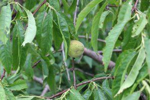 源平枝垂れ桃の実