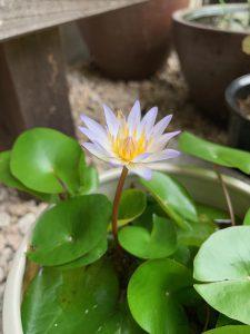 熱帯スイレンの花